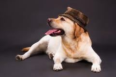 Blondes labrador retriever im braunen Hut Lizenzfreies Stockbild