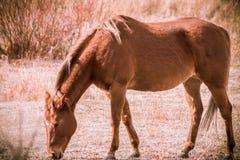 Blondes Pferd, das auf dem Gebiet weiden lässt lizenzfreie stockfotografie