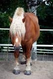 Blondes schwedisches Pferd mit einem Haarschnitt Stockbild