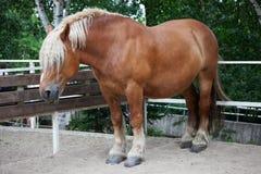 Blondes schwedisches Pferd mit einem Haarschnitt Stockbilder