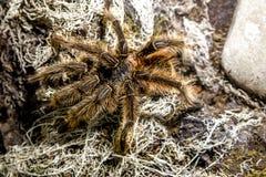 Blondi animal exótico del theraphosa de la araña Fotos de archivo libres de regalías