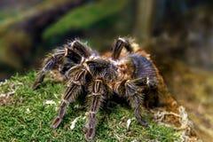 Blondi animal exótico del theraphosa de la araña Foto de archivo