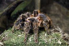 Blondi animal exótico del theraphosa de la araña Imagen de archivo libre de regalías