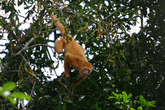 Blondie. Is the first non-black howler monkey found.  She lives in Costa Rica at the Nicaragua border Royalty Free Stock Photo