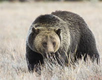 Blondie the grizzly bear playing peek-a-boo in tall grass Royalty Free Stock Images