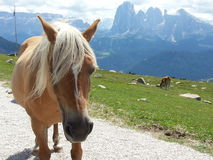 Blondie horse close up in Dolomiti mountains Royalty Free Stock Photo