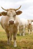 Blondinen d'Aquitaine Kühe Stockbild