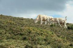Blondynka d Aquitaine trakenu krowy je trawy w Francuskich Pyrenees w lecie zdjęcie royalty free