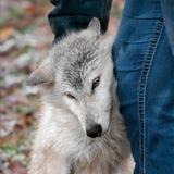 Blondynka wilk Otrzymywa narysy od tresera (Canis lupus) zdjęcie royalty free