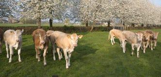 Blondynki d ?Aquitaine cieli si? w zielonej ??ce z bielem kwitnie wiosen drzewa fotografia royalty free