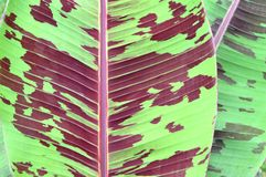 Blood banana leaf Stock Photo