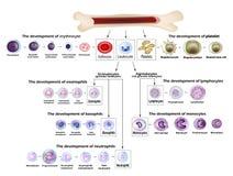 Blood cells Erythrocyte development, red blood cells, leukocytes, eosinophils, lymphocytes, neutrophils, basophils stock illustration