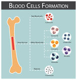 Blood cells Formation Stock Photography