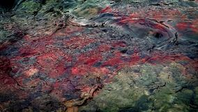 Blood Colors River Water Red. Lots of blood flows into river from something dead or injured, could be used to show a hunting accident, animal attack, crime etc stock footage