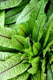 Blood dock red sorrel plant rumex sanguineus Stock Images