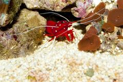 Blood or Fire Shrimp Royalty Free Stock Image