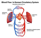 Blood flow in human circulatory system Stock Images