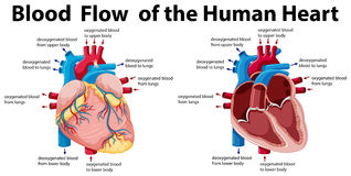 Blood flow of the human heart Stock Image
