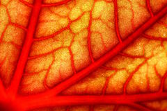 A blood geranium leaf Royalty Free Stock Images