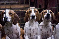 Blood Hound Dogs Stock Photo