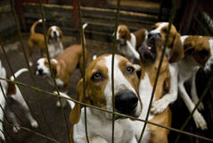 Blood Hound Dogs Stock Image