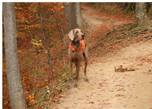 Blood Hound In Mountain Forest Stock Photo
