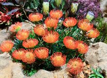 Blood Lily. A bunch of blood lilies growing on top of a boulder Stock Photo