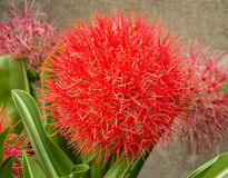 Blood lily or fireball lily. Close up of African blood lily or fireball lily blossom in ornamental garden royalty free stock photos