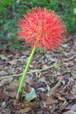 Blood lily red stock image
