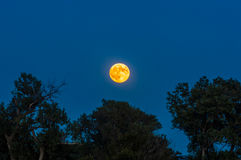 Blood moon over tree line Royalty Free Stock Image