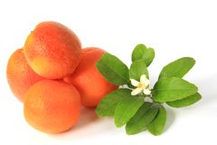 Blood Orange (Citrus x sinensis) Stock Image