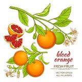 Blood orange vector set Stock Image