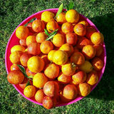 Blood Oranges. Fresh organic Fruit from the garden royalty free stock photos