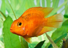 Blood Parrot Cichlid Royalty Free Stock Images