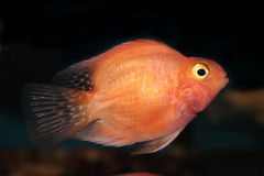 Blood parrot cichlid Stock Image