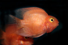 Blood parrot cichlid Stock Images
