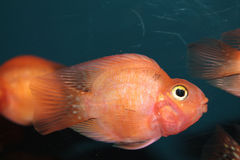 Blood parrot cichlid Royalty Free Stock Photo