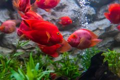 Blood parrot cichlid fish always kiss whenever they see each other stock photo
