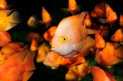 Blood parrot cichlid swimming in aquaria. Royalty Free Stock Photography