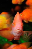 Blood parrot cichlid swimming in aquaria. Royalty Free Stock Photo