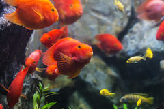 Blood parrot cichlid well known as bloody parrot and blood parro Royalty Free Stock Photo