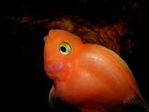 Blood parrot fish. Stock Photos