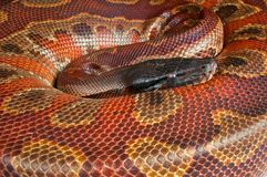 Blood python Royalty Free Stock Image