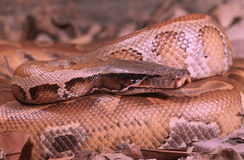 Blood python Royalty Free Stock Photography