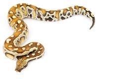 Blood Python. (Python curtus) on white background Stock Photos