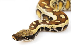 Blood Python Royalty Free Stock Photo