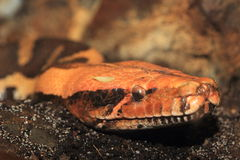 Blood python Royalty Free Stock Images