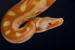 Blood python,albino  / Python brongersmai Stock Image