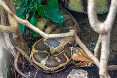 Blood python Stock Photos