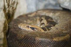 Blood python Stock Image